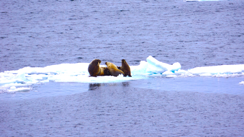 Walruses!