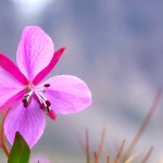 Flower Spotted in Auyuittuq National Park